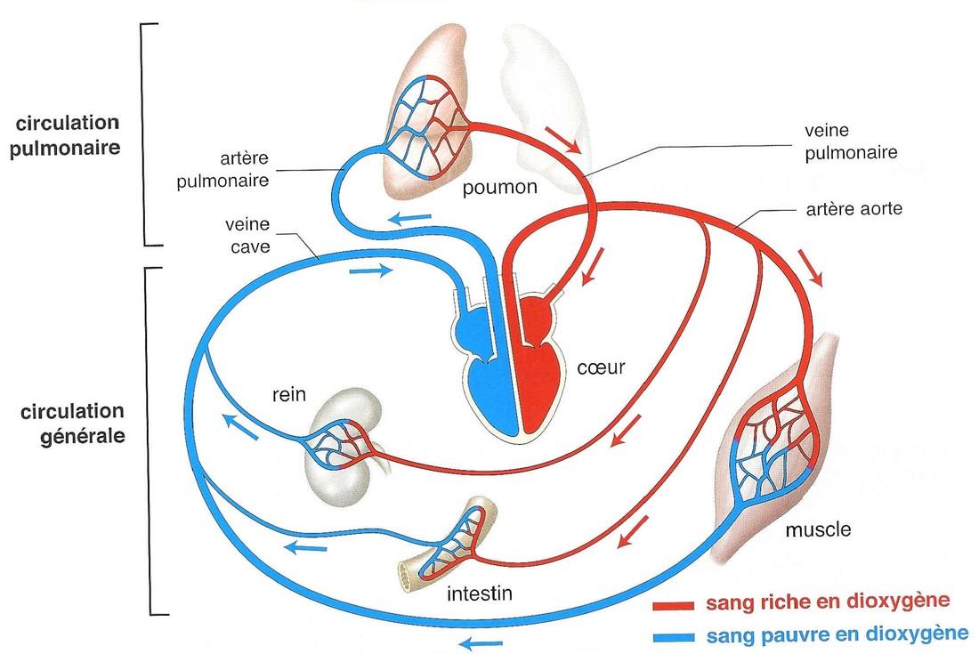 imagescirculation-sanguine-1.jpg
